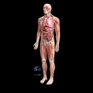 3d-male-anatomy-collection